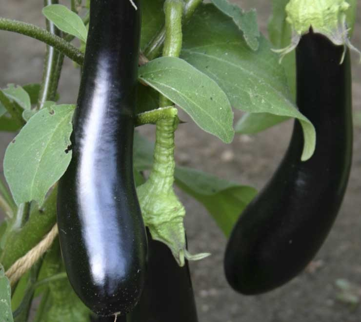 aubergine violetta lunga 3 pflanzen datenbank. Black Bedroom Furniture Sets. Home Design Ideas