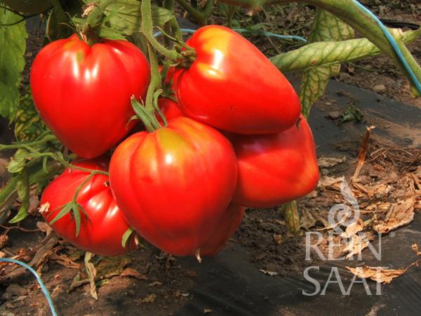 Tomate Ochsenherz